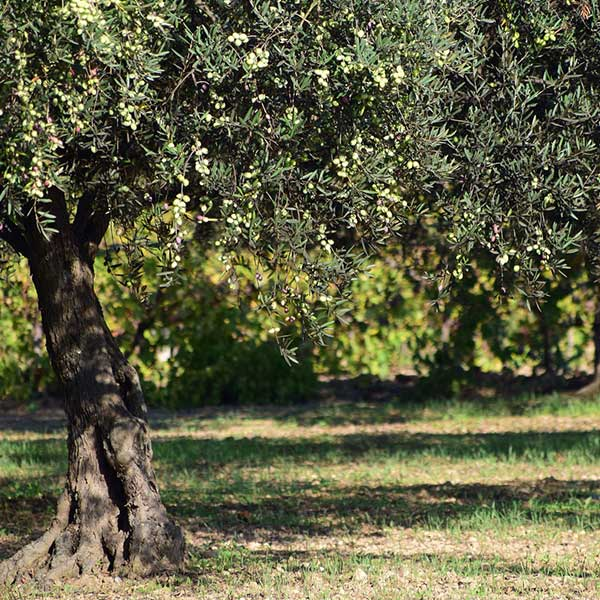 olive-grove-treatment-agricultural-mistblowers-to-be-more-precise-and-efficient-