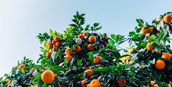 growing-pests-in-the-citrus-production